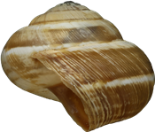 Cernuella virgata